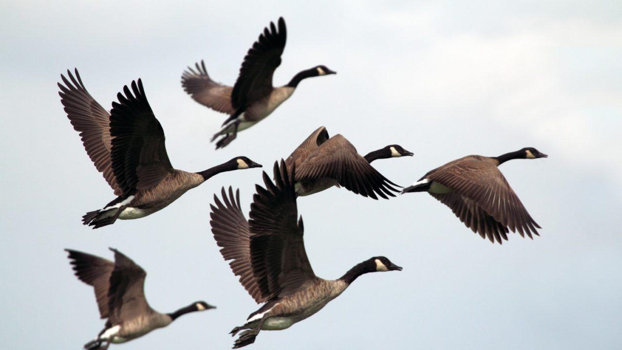大空を優雅に飛び立つ渡り鳥の画像